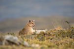 A Puma rests on a hillside in Patagonia, Chile.