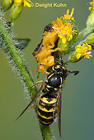 AM02-540z  Ambush Bug female, feeding on Sandhills Hornet prey with long sharp beak,  Phymata americana