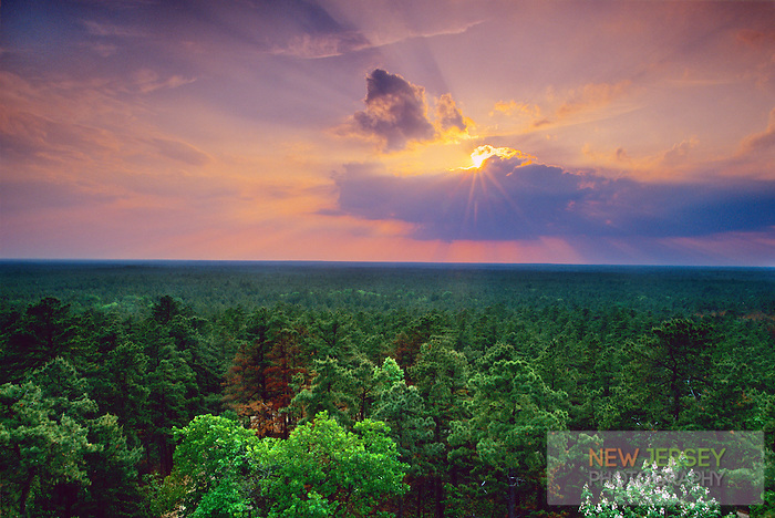 Pine Barren Forest, Wharton State Forest, New Jersey