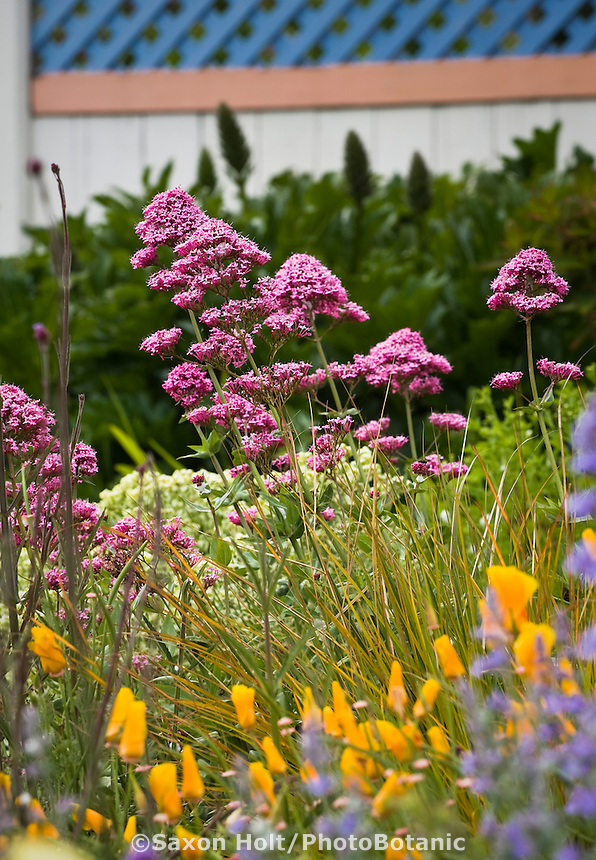 Magenta flowering perennial Centranthus ruber - Jupiter's Beard or Red Valerian in Amy Stewart's garden