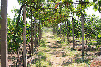 Vineyard trained in pergola style. Local grape variety Shesh. Cobo winery, Poshnje, Berat. Albania, Balkan, Europe.