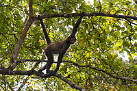 Spider monkey, Belize
