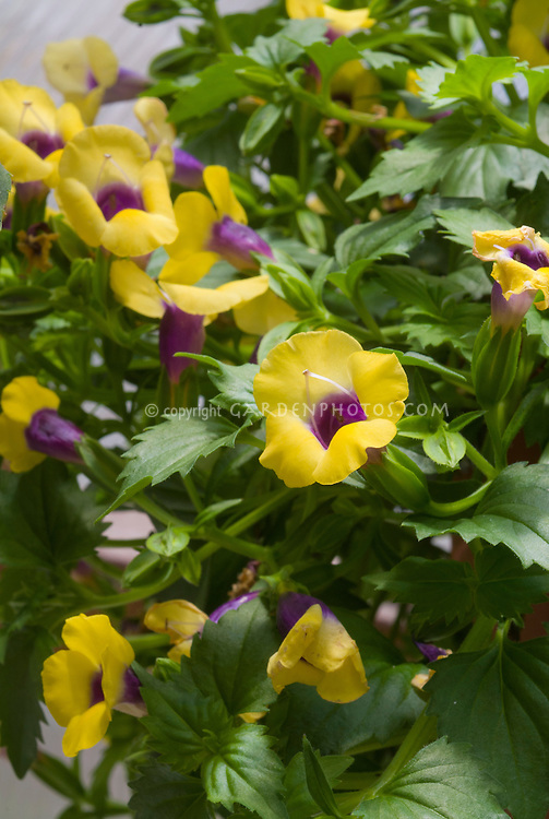 Torenia Golden Moon yellow and purple flowers annual bloom, wishbone flower