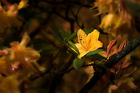 Colorful yellow azalea flower in the rain.