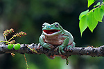WASSUP!!!  FEELING CHIRPY.  This frog appears to be loving life as it pulls a 'smile' for the camera.<br /> <br /> The white tree frog, which is native to Australia, Indonesia and New Guinea was spending time in the sun while perched on a branch.<br /> <br /> It is believed that frogs 'sunbath' to avoid fungus' by increasing their body temperatures.<br /> <br /> Creative designer Kurit Afsheen, 38, from Indonesia took these photos of the frog in his backgarden of his home in Jakarta, Indonesia.<br /> <br /> He said, 'The frog was on the branch for around 5 minutes.  When it opened its mouth it appeared he was laughing'<br /> <br /> Please byline: Kurit Afsheen/Solent News<br /> <br /> © Kurit Afsheen/Solent News & Photo Agency<br /> UK +44 (0) 2380 458800