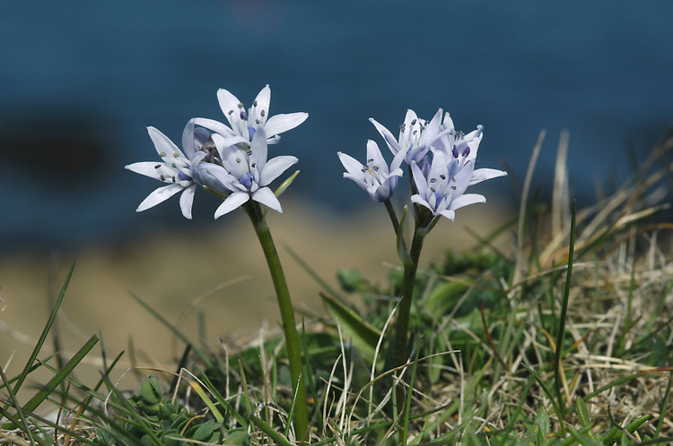 SPRING SQUILL Scilla verna (Liliaceae) Height to 5cm<br /> Compact and resilient, hairless perennial that grows in dry, short coastal grassland, typically in sight of the sea. FLOWERS are 10-15mm across, bell-shaped and lilac blue; borne in upright, terminal clusters on a short stalk, each flower having a bluish purple bract (Apr-Jun). FRUITS are capsules. LEAVES are wiry, curly, basal and 4-6 in number; they appear in early spring, before the flowers. STATUS-Locally common on the coasts of W Britain and E Ireland; scarce or absent elsewhere.