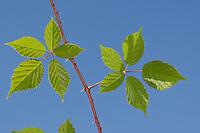 Echte Brombeere, Blätter, Blatt vor blauem Himmel, Rubus fruticosus agg., Rubus sectio Rubus, blackberry, bramble