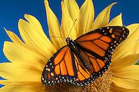 MONARCH BUTTERFLY on sunflower..North America. Danaus plexippus.