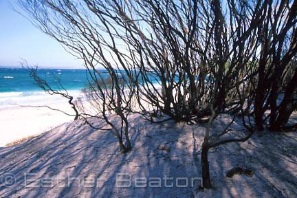 Coastal shrubland, mainly tea tree (Leptospermum laevigatum) after intense bushfire 1 mo ago, Iluka Beach, Booderee NP, Jervis Bay, NSW