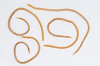 Hundespulwurm, Hunde-Spulwurm, Spulwurm, Spulwürmer, adulte Würmer aus dem Erbrochenen eines Haushundes, Verwurmung, verwurmt, Hundewurm, Hundewürmer, Toxocara canis, dog roundworm, ascaris du chien, Parasit, Parasiten parasite, parasites, Wurmerkrankung