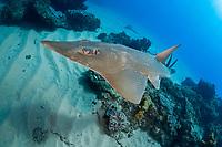 giant guitarfish, white-spotted guitarfish, Rhynchobatus djiddensis, Sodwana Bay, South Africa, Indian Ocean