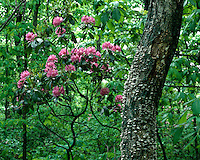 Catawba Rhododendron (Rhododendron catawbiense) in bloom; Shenandoah National Park, VA