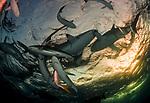 Cuba Underwater,  Jardines de la Reina, Protected Marine park underwater, Reef Sharks, Sharks, Silky Sharks, Silky Sharks at sunset, Carcharhinus falciformis