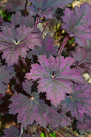 Heuchera Frosted Violet purple foliage perennial plant