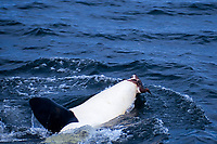 killer whale, orcinus orca, eating common murre uria aalge, monterey bay california pacific ocean