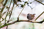 Song sparrow, coast mountain range, Oregon