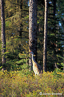 Sandhill crane walking in a clearing in the forest
