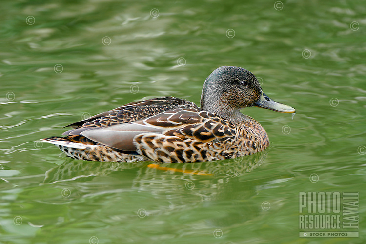 Koloa, Hawaiian Duck, (Anas wyvillana) Endangered. Found on all of the main Hawaiian Islands.
