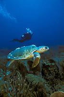 Loggerhead turtles, Caretta caretta, Florida, Atlantic Ocean