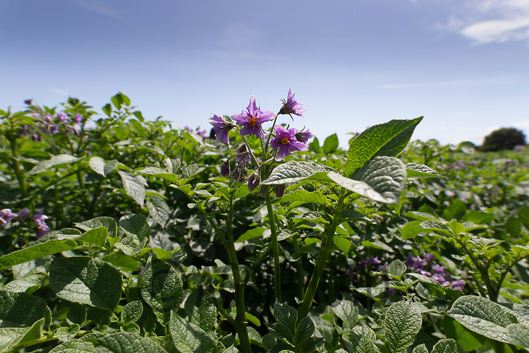22.6.2020 Potatoes flowering   <br /> ©Tim Scrivener Photographer 07850 303986<br />      ....Covering Agriculture In The UK.