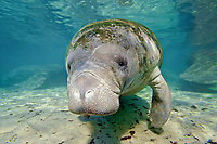 West Indian manatee, Florida manatee, Trichechus manatus latirostris, Three Sisters Springs, Crystal River, Florida, USA