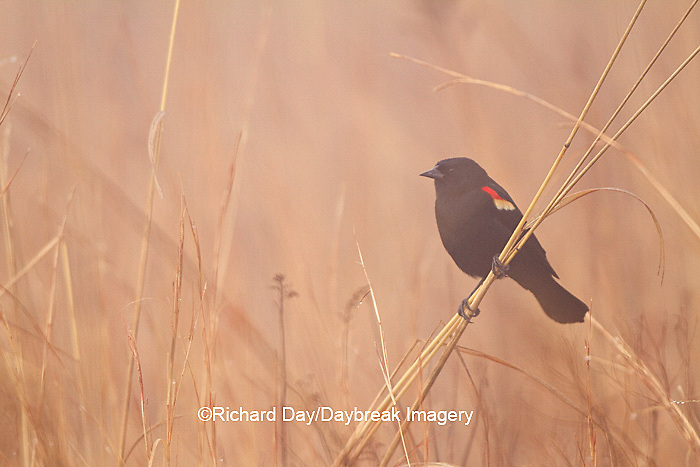 01603-02610 Red-winged Blackbird (Agelaius phoeniceus) male singing/displaying in fog near wetland Prairie Ridge State Natural Area Jasper Co. IL