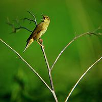 Schlagschwirl, singend, Schlag-Schwirl, Locustella fluviatilis, river warbler, La Locustelle fluviatile