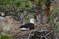 Bald Eagle Nest (Haliaeetus leucocephalus)--adult with several week old eaglet in tall ponderosa pine tree.  Oregon.  April.