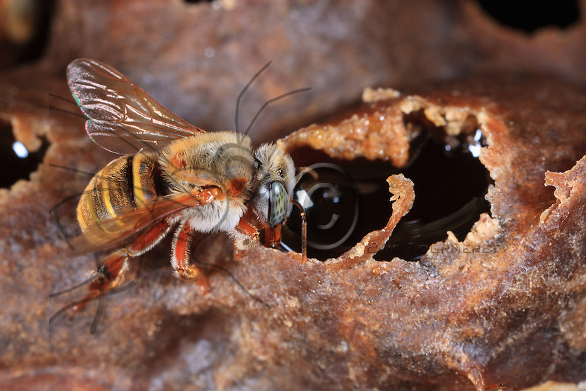 Beecheii bees gorge themselves with honey during the harvest.