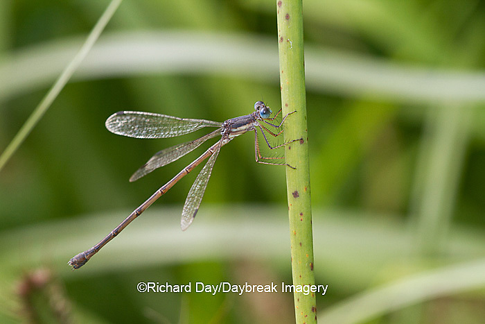 06036-00101 Slender Spreadwing Damselfly (Lestes rectangularis) in wetland, Marion Co., IL