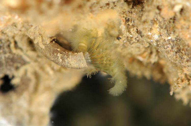 Pseudopotamilla reniformis