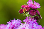 "A cricket climbs an ageratum houstonianum (""Red Sea"" ageratum) in the 50-acre expanse of Brookside Gardens in Silver Spring, Maryland."