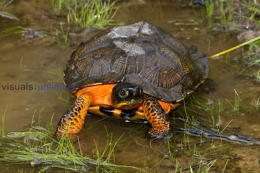 Wood Turtle (Glyptemys insculpta), Pennsylvania, USA.