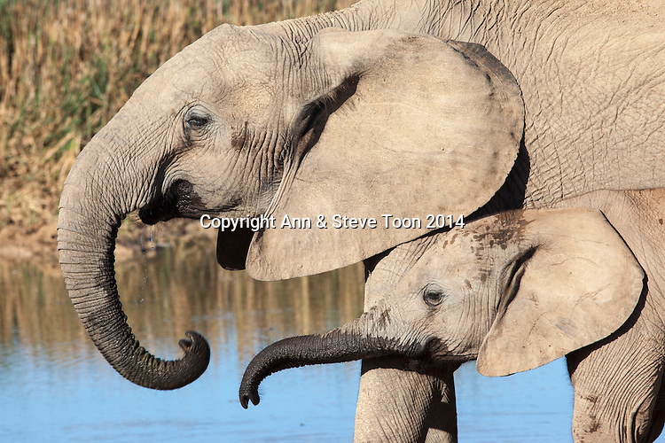 African elephants (Loxodonta africana) at Hapoor waterhole, Addo Elephant national park, South Africa, February 2014