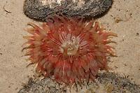 Seedahlie, See-Dahlie, Dickhornige Seerose, Tealia felina, Urticina felina, Blumentier, Anthozoa, feline dahlia anemone, feline sea dahlia