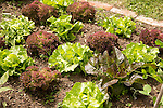 Vegetable plot lettuce plants at Potager Garden, Constantine, Cornwall, England, UK