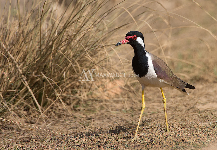 The Red-wattled lapwing is a colorful, medium-sized wader often found in grassland rather than in water.