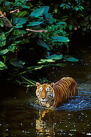 Sumatran Tiger (Panthera tigris), Indonesia, wading in tropical rainforest stream.