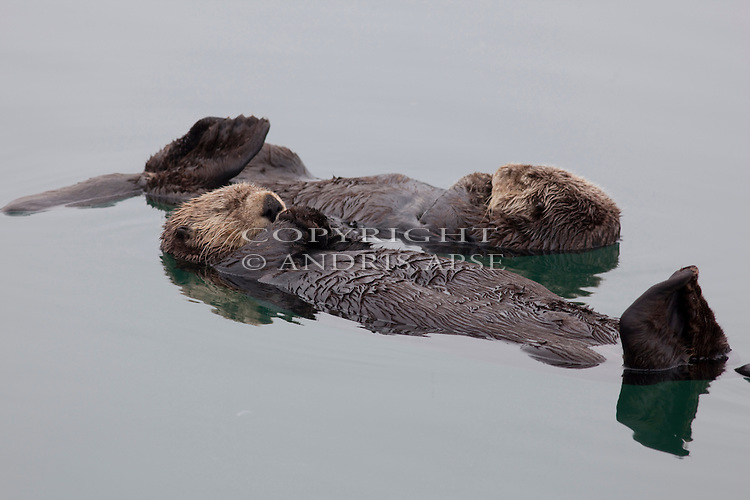 Sea Otters in Prince William Sound. Alaska. U.S.A.