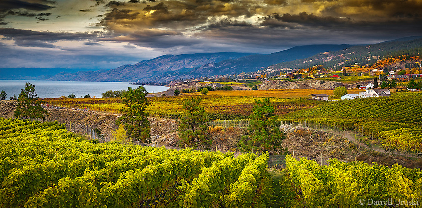 Fine Art Print signed by the artist of golden vineyards during the fall season in the Okanagan valley in British Columbia Canada
