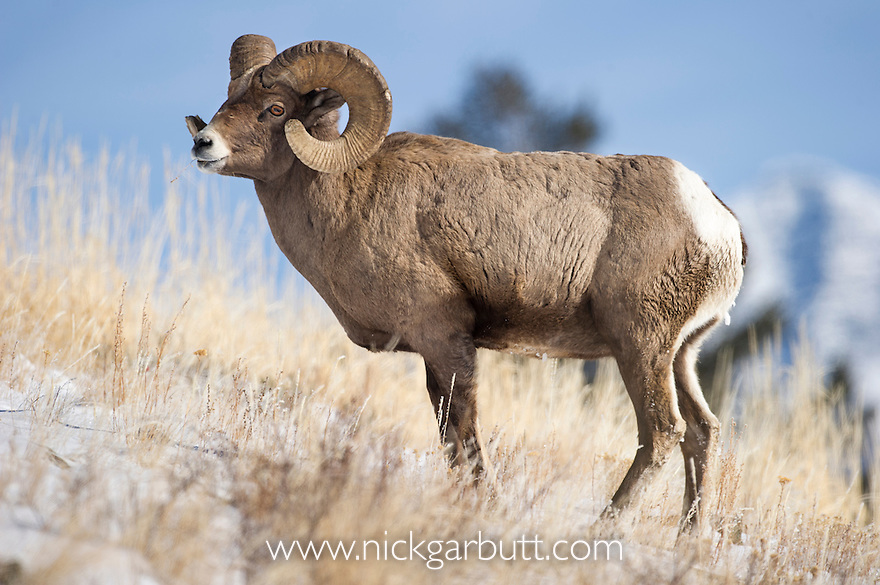 Male Bighorn Sheep (Ovis canadiensis). Lamar River Valley, Yellowstone National Park, Wyoming, USA.