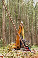 Início de corte de uma área de floresta de Eucalipto,  gênero de arbustos ou árvores de grande porte, da família das mirtáceas, para posterior produção de de papel e celulose  (grupo Orsa).<br />A fábrica da Jarí em local próximo,  onde é beneficiada a madeira, foi construída em cima de uma balsa e trazida por empurradores do Japão no final da década de 70 e instalada as margens do rio Jarí, fronteira do Pará com o Amapá.<br />Almeirim, Pará, Brasil.<br />Foto Paulo Santos/Interfoto<br />03/2005.
