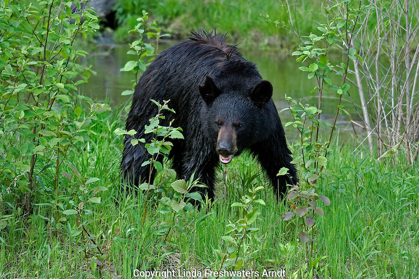 Black bear standing in an aggressive stance.  Spring.  Minnesota.