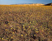 Sunrise light on a field of Desert Sunflowers (Gerea canescens) in Mustard Canyon; Death Valley National Park , CA