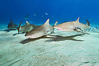 lemon sharks, Negaprion brevirostris, Grand Bahama, Bahamas, Caribbean Sea, Atlantic Ocean