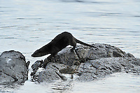 Otter on shore scent marking rocks between fishing / foraging,<br /> Lutra lutra,<br /> Ardnamurchan, Scotland - January