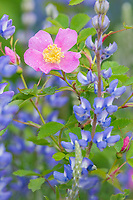 Woods' Rose or Western Wild Rose (Rosa woodsii) and lupine in ponderosa pine forest.  NE Washington, June.