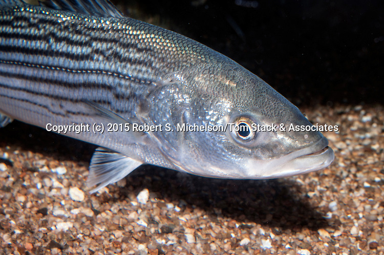 Striped bass juvenile swimming right medium shot