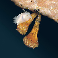 Sea Squirt - Morchellium argus