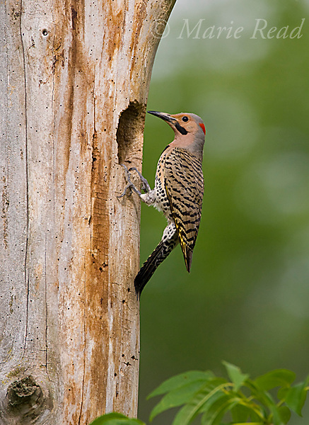 Northern Flicker (Colaptes auratus), yellow-shafted form, male outside nest hole in treetrunk, New York, USA